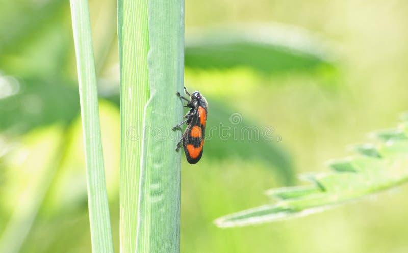 Oranje en Zwarte Mot - Macro Dichte Omhooggaand stock foto