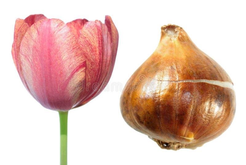 Oranje enige recente die tulpenbloem met tulpenbol op wit wordt geïsoleerd royalty-vrije stock foto's