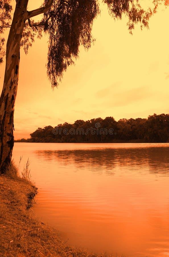 Oranje Eucalyptus Paringa stock foto