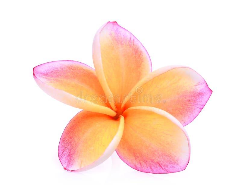 Oranje frangipani of plumeria tropische geïsoleerde bloemen royalty-vrije stock afbeelding