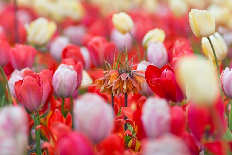 Oranje fritillariaimperialis ` de Eerste `-Kroon binnen Keizer stock fotografie