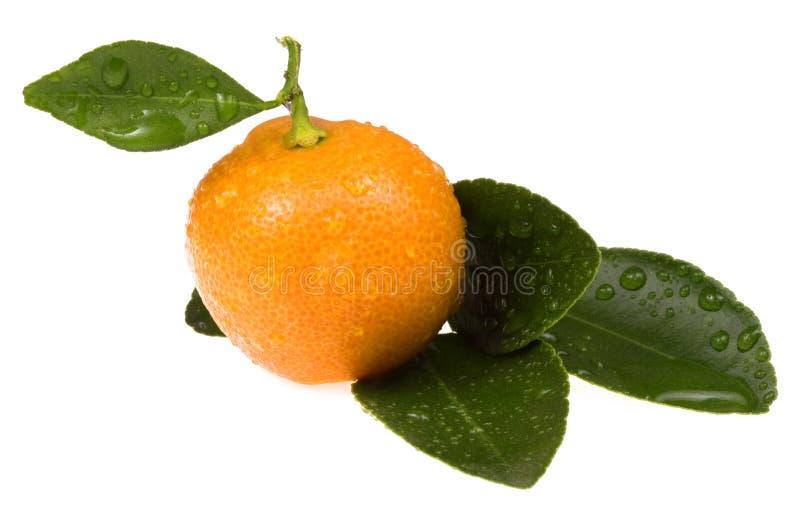 Oranje fruit. zoete calamondin stock afbeelding