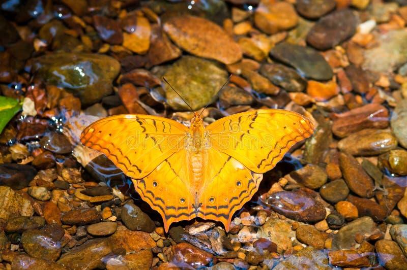 oranje gemeenschappelijke kruiservlinder op waterstroom royalty-vrije stock foto's