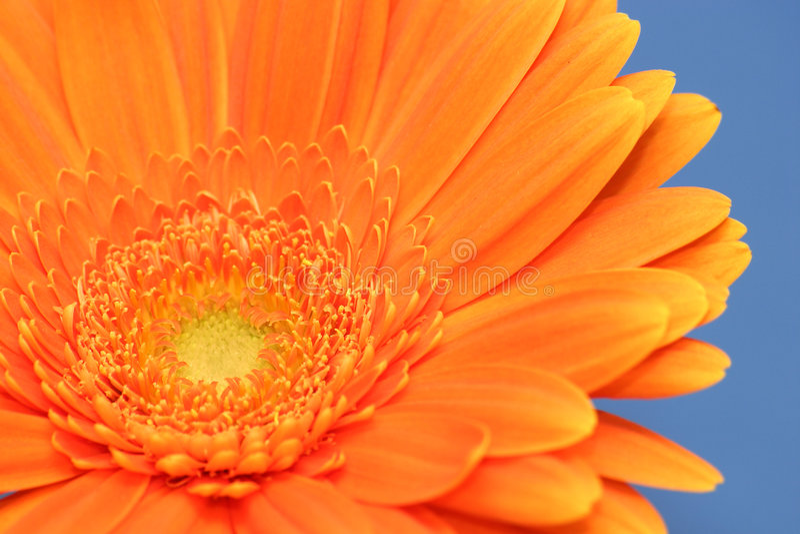 Oranje Gerbera stock fotografie