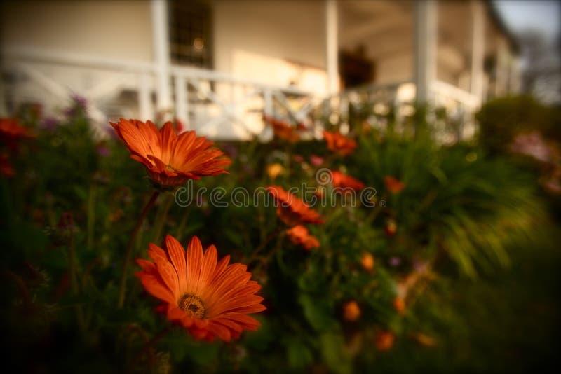 Oranje Gerbera Daisy royalty-vrije stock foto