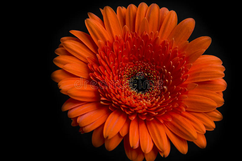 Oranje gerberabloem op donkere achtergrond stock afbeeldingen