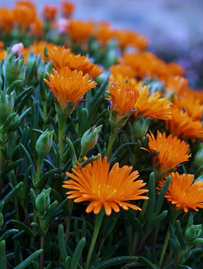 Oranje gerberabloemen royalty-vrije stock afbeelding