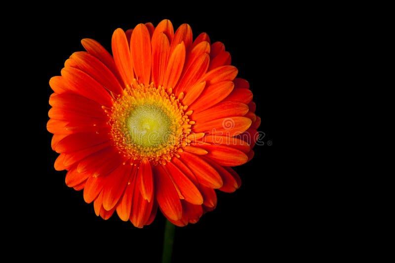 Oranje gerberamadeliefje op zwarte stock afbeeldingen