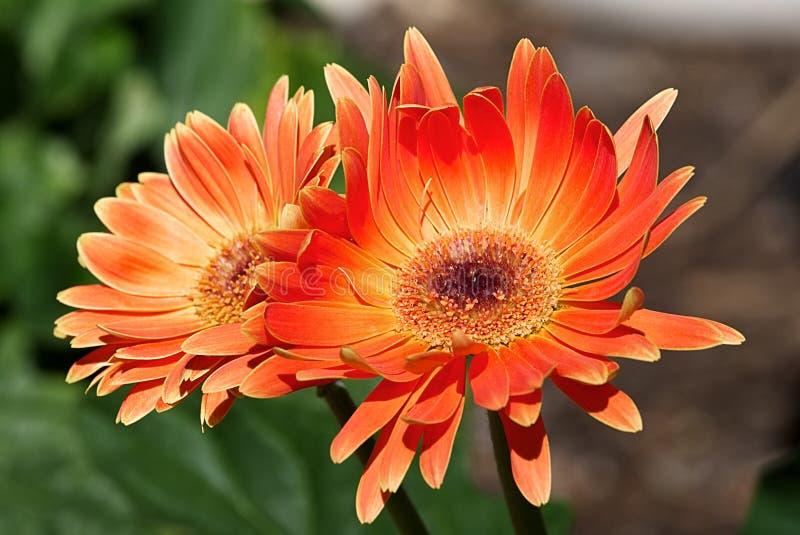 Oranje Gerberas in een Tuin stock afbeeldingen