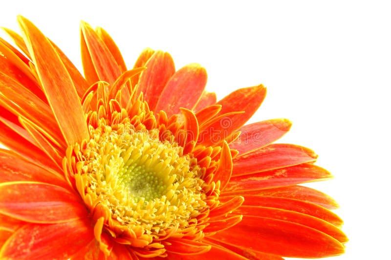 Oranje gerbermadeliefje royalty-vrije stock foto's