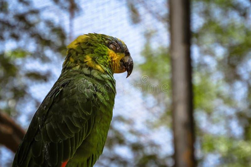 Oranje-gevleugelde van de Papegaaiamazona van Amazonië amazonicaslaap stock foto's