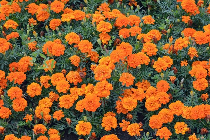 Oranje goudsbloem die in bloembed bloeien royalty-vrije stock foto's