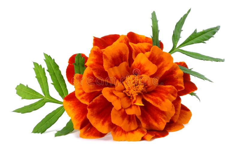 Oranje Goudsbloembloem, Tagetes-erecta, Mexicaanse goudsbloem, Azteekse goudsbloem, Afrikaanse die goudsbloem op witte achtergron royalty-vrije stock fotografie