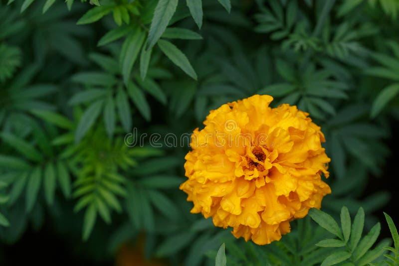 Oranje goudsbloembloem in tuin, groene achtergrond met copyspace stock afbeelding