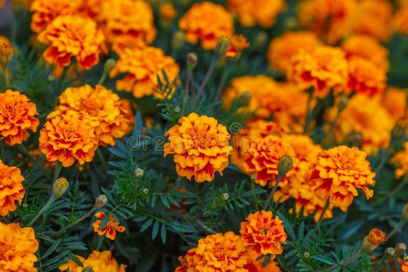 Oranje goudsbloembloemen in tuin, groene achtergrond stock foto