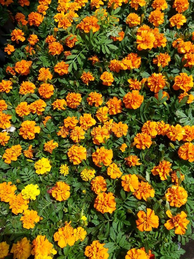 Download Oranje goudsbloemen stock afbeelding. Afbeelding bestaande uit werf - 54087061