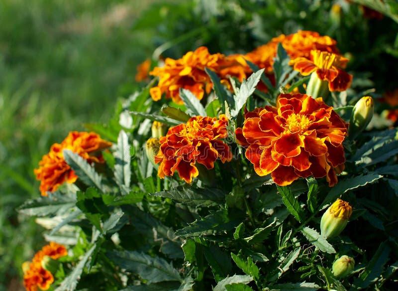 Oranje goudsbloemen royalty-vrije stock foto