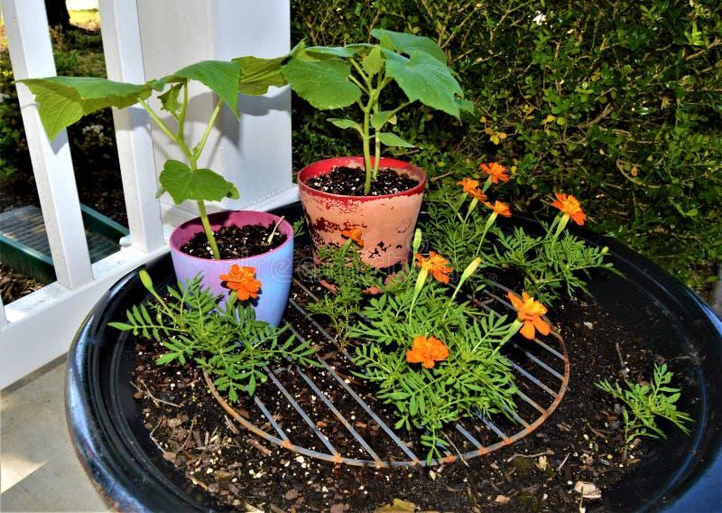 Oranje Goudsbloemen met Andere Installaties stock foto