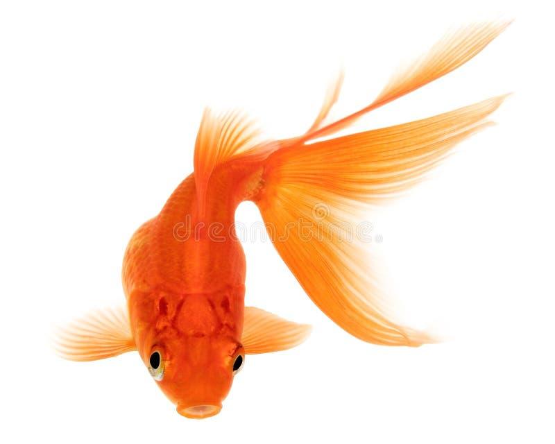 Gouden vissen op witte achtergrond stock foto afbeelding for Nourriture poisson rouge monoprix