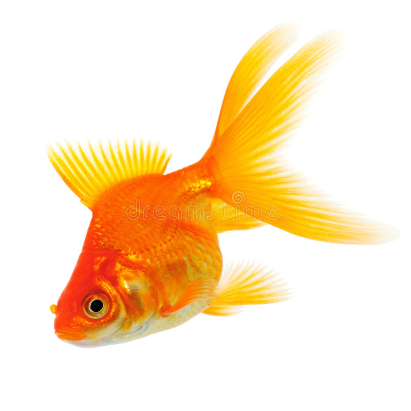 Oranje Goudvis op Wit stock foto