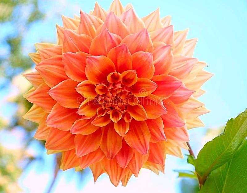 Oranje grote bloembloesem stock foto