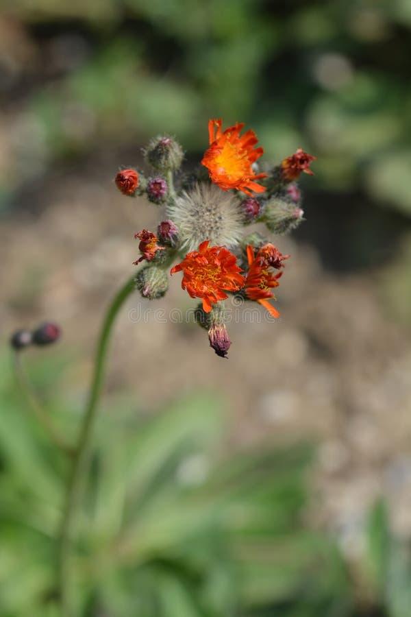 Oranje Hawkweed royalty-vrije stock fotografie