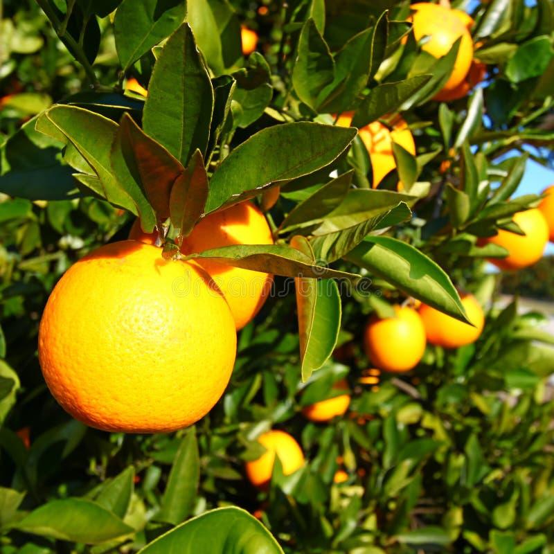 Oranje het Bosjeachtergrond van Florida royalty-vrije stock afbeeldingen