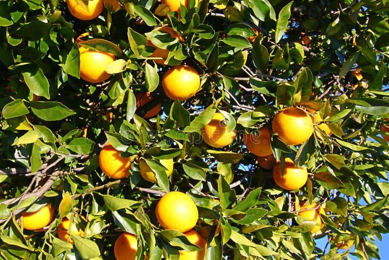 Oranje het Bosjeachtergrond van Florida royalty-vrije stock fotografie