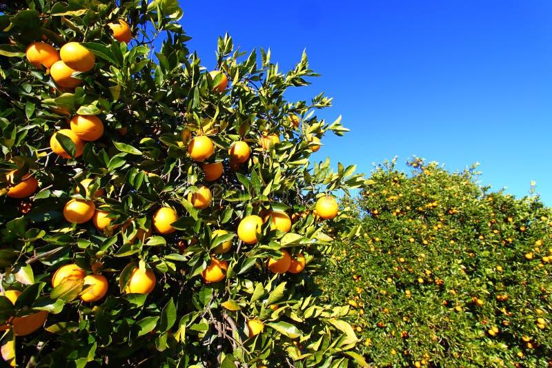 Oranje het Bosjeachtergrond van Florida royalty-vrije stock foto