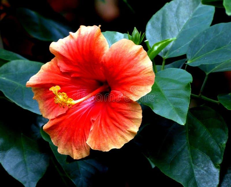 Oranje Hibiscus stock afbeelding