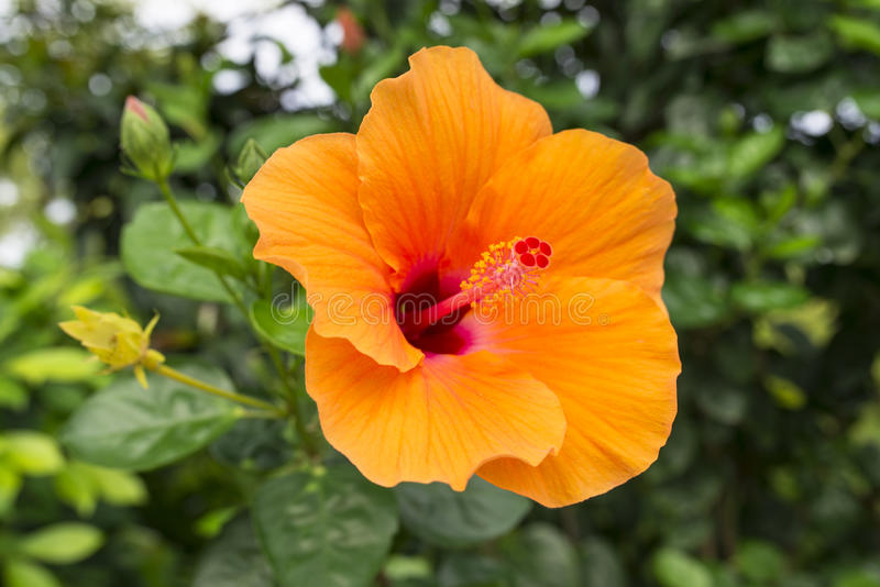 Oranje Hibiscus stock foto