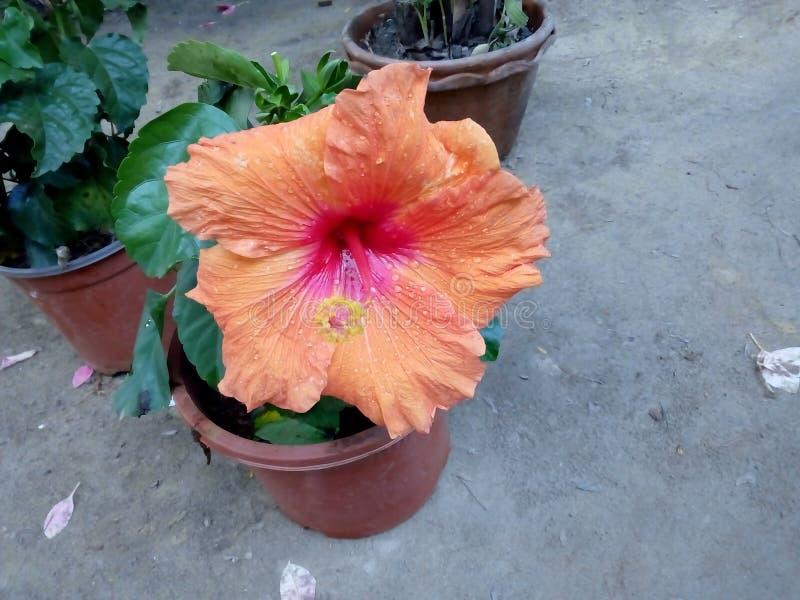 Oranje Hibiscus royalty-vrije stock afbeeldingen