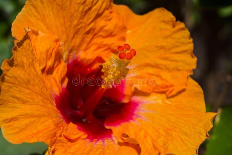 Oranje Hibiscus royalty-vrije stock foto's