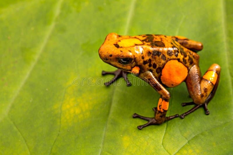 Oranje histrionica van de kikkeroophaga van het vergiftpijltje van het tropische regenwoud van Colombia royalty-vrije stock foto's