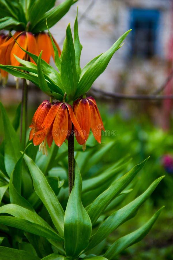 Oranje imperialis van de bloemenfritiallaria van de kroon keizerlelie binnen royalty-vrije stock afbeeldingen