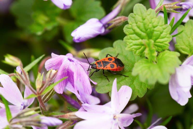 Oranje insect onder lilac bloemen royalty-vrije stock foto's