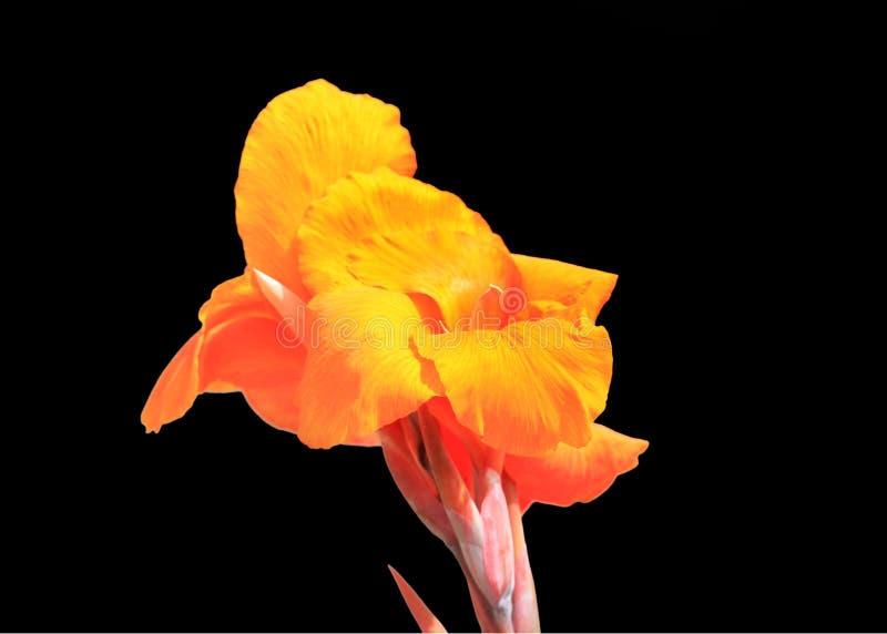 Oranje Irisbloem stock afbeelding