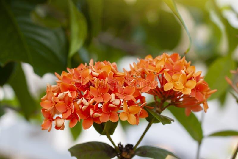 Oranje Ixora-bloem met verlichting van zonneschijn in de tuin op de achtergrond van de onduidelijk beeldaard royalty-vrije stock foto