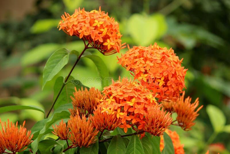 Oranje Ixora-bloemen op Natuurlijke groene tuin stock foto's