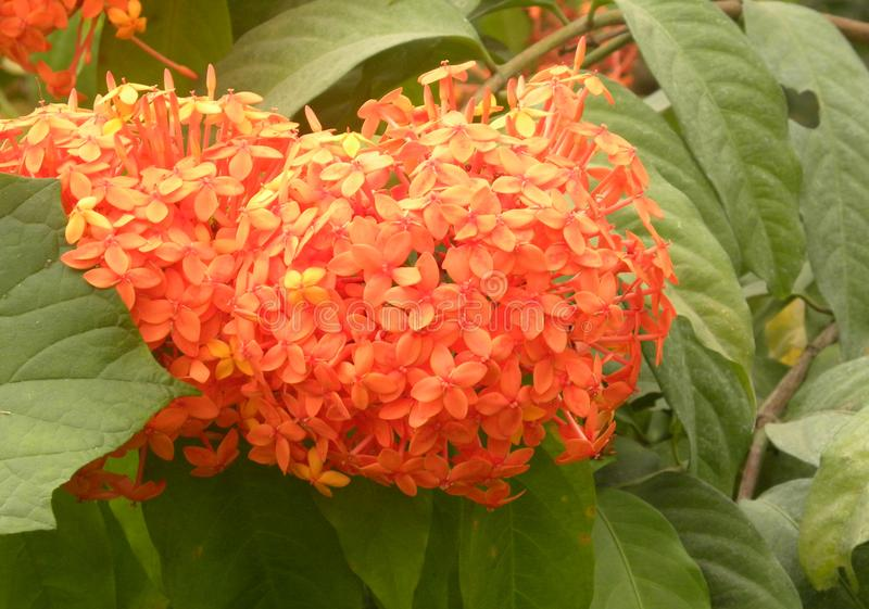 Oranje Ixora-coccineabloemen stock foto