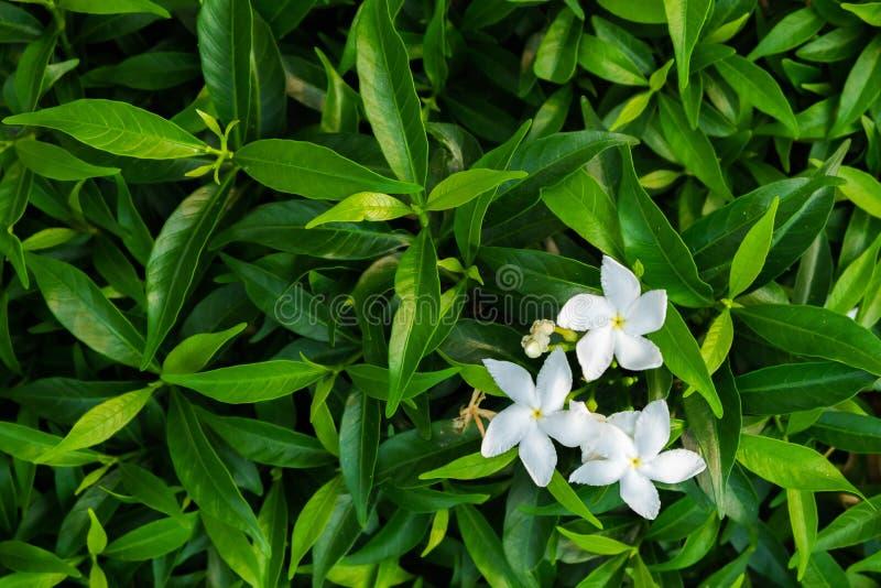Oranje jasmijn royalty-vrije stock fotografie