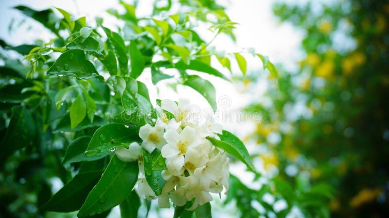 Oranje jasmijn in de tuin royalty-vrije stock foto