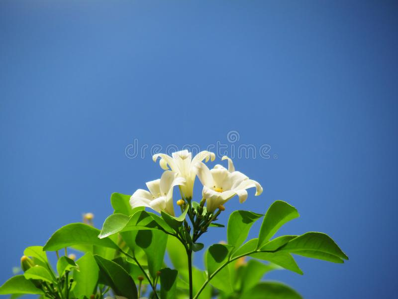 Oranje Jasmijnbloem die op boom tegen de blauwe hemel bloeien royalty-vrije stock afbeeldingen