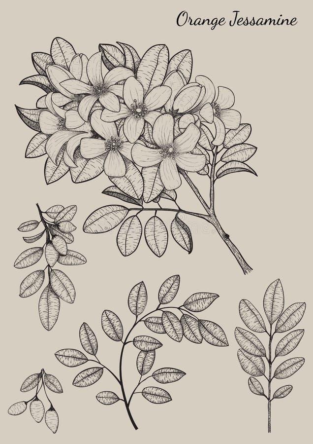 Oranje Jessamine-bloem stock illustratie