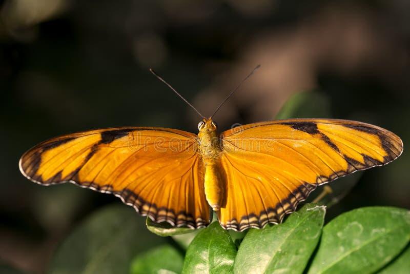 Oranje Julia Butterfly royalty-vrije stock fotografie
