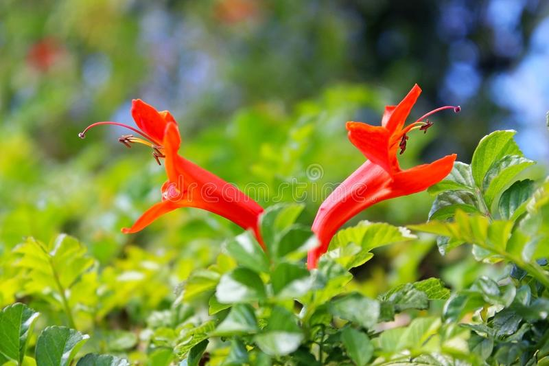 Oranje kaapkamperfoelie royalty-vrije stock afbeeldingen