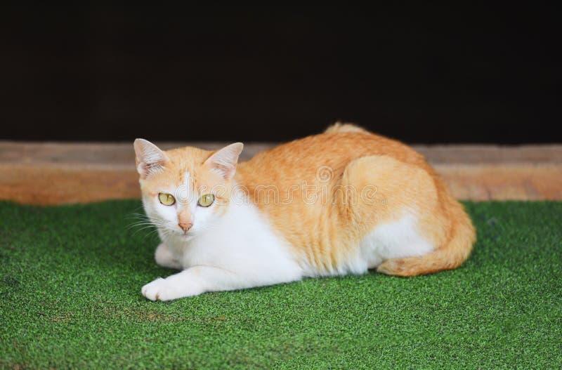 Oranje kat die op groene vloer liggen - witte en rode kat Aziaat royalty-vrije stock foto