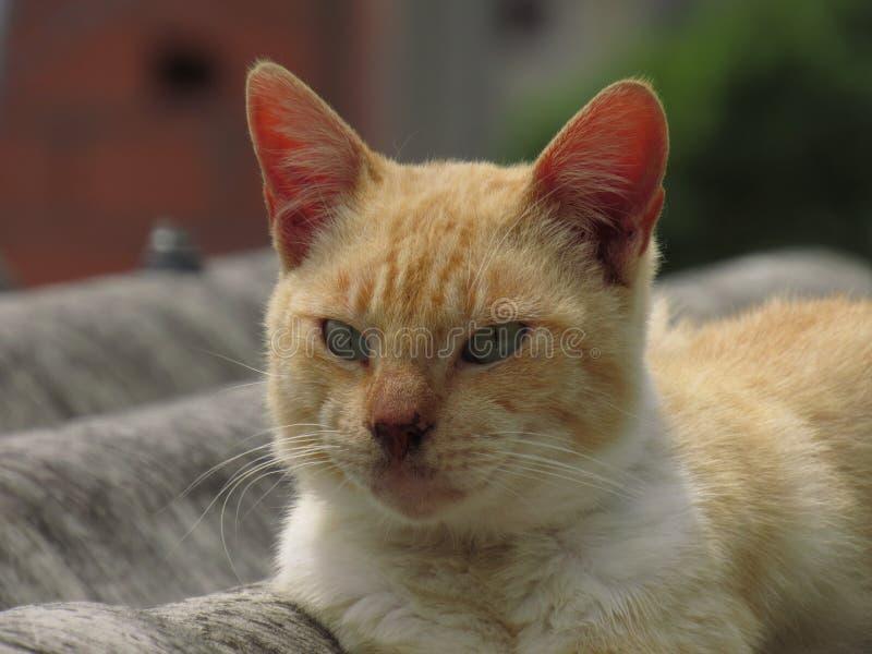 Oranje kat op een dak royalty-vrije stock foto