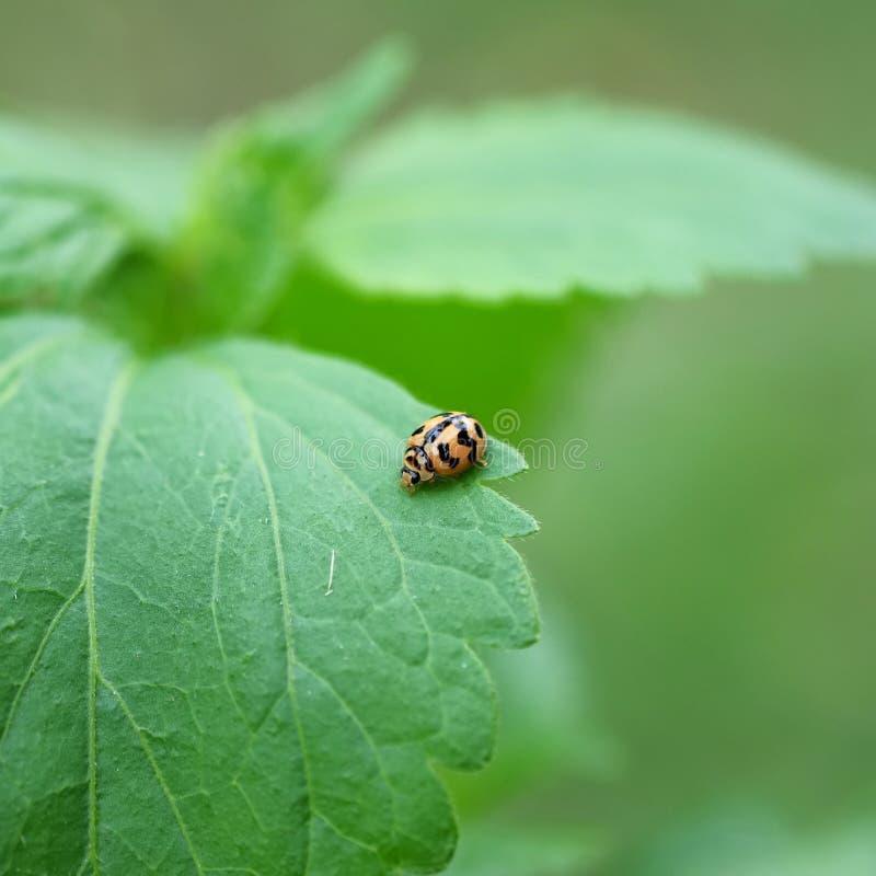 Oranje klein lieveheersbeestje op groen blad stock fotografie