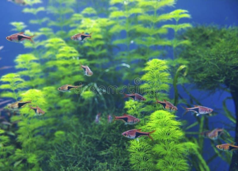 Oranje kleine vissen in exotische aard die in diep water met de blauwe achtergrond met groen koraal zwemmen stock foto
